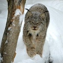 gros chat sauvage forêt canada