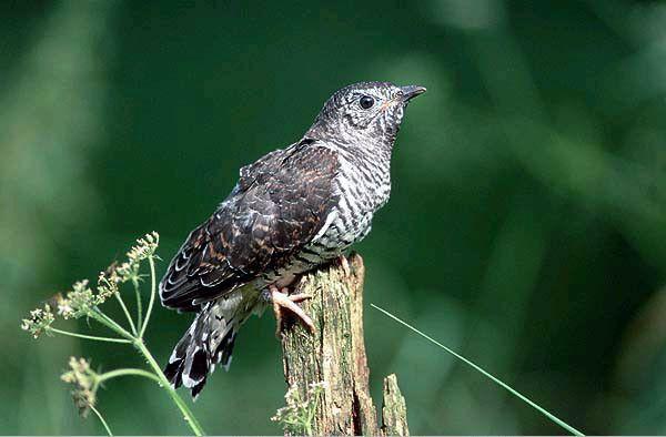 Les oiseaux - Le coucou -
